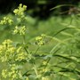 alchemilla mollis flower