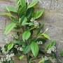 Cotoneaster frigidus 'Cornubia'  (cotoneaster cornubia)