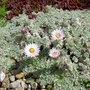 Helichrysum_milfordiae_2012