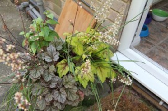 heuchera rave on and spotlight