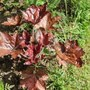 Heuchera 'Bressingham Bronze'