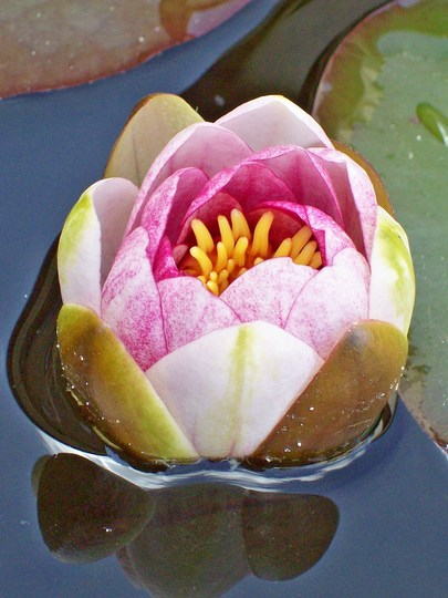 My Ponds Water Lily...
