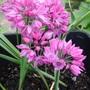 Allium 'Rosy Bells' (Allium ostrowskianum)