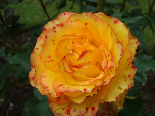 Tequila Sunrise Hybrid Tea.
