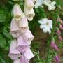 Digitalis purpurea (Common foxglove)