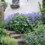 Blue_geraniums