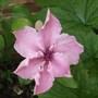 Clamatis_pink_fantasy