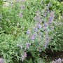 Nepeta 'Six hills giant' (Nepeta)