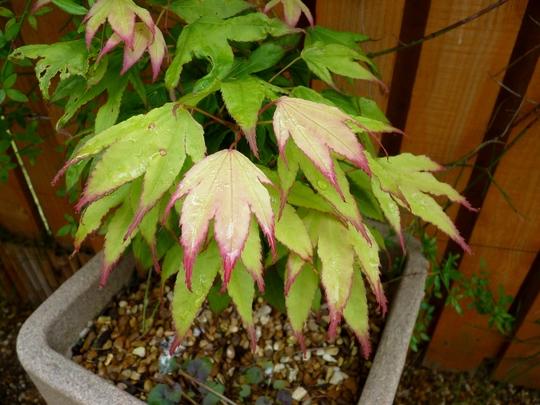 Acer 'Osakazuki' leaves