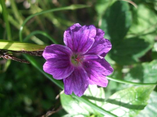Geranium nodosum 'Dark Heart' (Geranium nodosum)