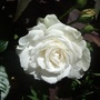 Great_north_eastern_rose