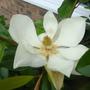 Magnolia_grandiflora_013