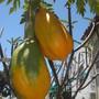 Papaya carica 'Thai Dwarf' - Thai Dwarf Papaya Fruit (Papaya carica 'Thai Dwarf' - Thai Dwarf Papaya Fruit)