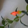 Gold fish plant