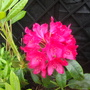 Rhododendron Deep Pink