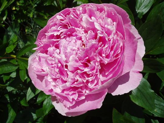 Peony 'Sarah Bernhardt'  (Paeonia)