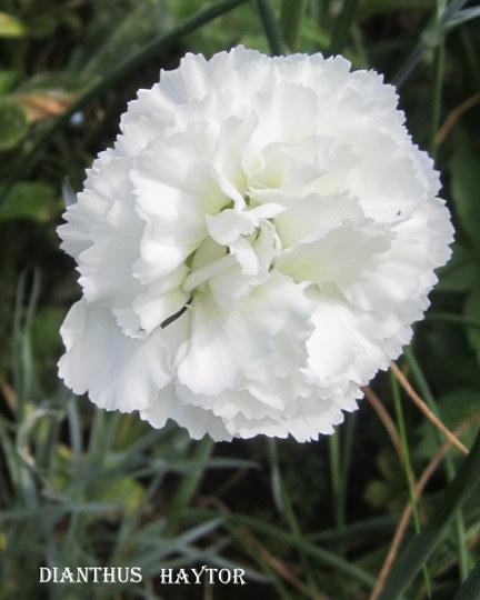 Dianthus 'Haytor' (Dianthus)