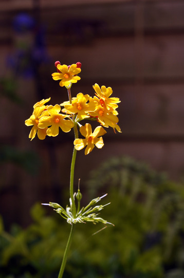 Candelabra Primula (Primula bulleyana (Candelabra primula))