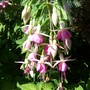 Fuchsia - Seaforth