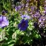 Geranium magnificum 'Rosemoor' (Geranium magnificum)