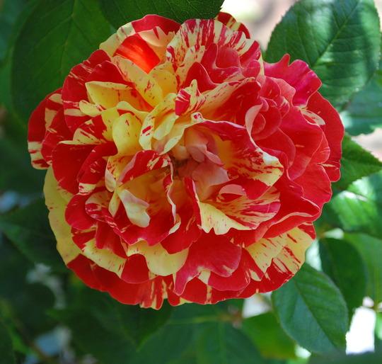 New rose (see blog) Brush Strokes.