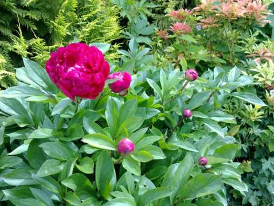 My Peonies are starting to Open!
