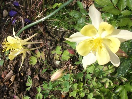 Aquilegia Mckana Hybrid this yellow one is always the last to flower (Aquilegia Mckana Hybrids)