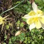 Aquilegia Mckana Hybrid this yellow one is always the last to flower (Aquilegia Mckana Hybrids)