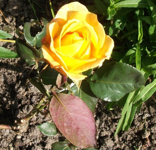 Rose Whiskey Mac a hybrid tea rose a rich gold and amber (Rose Whiskey Mac)