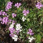 Iberis sempervirens - Candytuft (Fantasia) (Iberis sempervirens (Candytuft))
