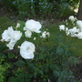 Rose Margaret Merril a White Floribunda (Rose Margaet Merril)