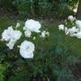 Rose Margaret Merril a White Floribunda (Rose Margaet Merril)