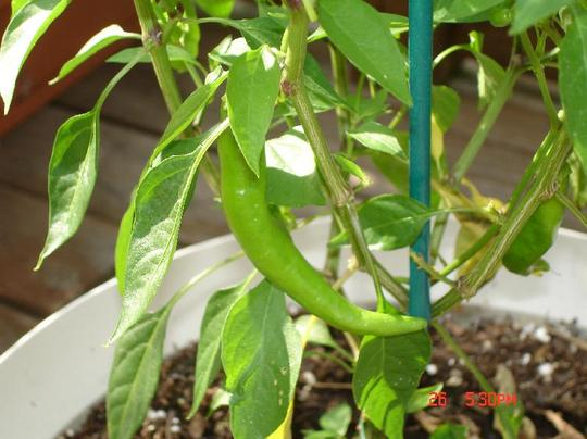 pepper (Capsicum frutescens)