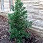 Cryptomeria japonica  (Cryptomeria japonica (Japanese cedar))