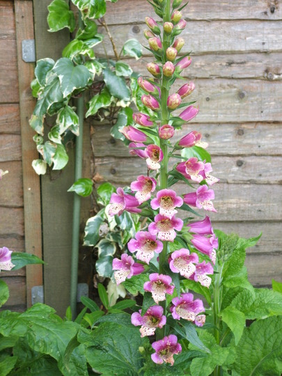 Foxglove - Candy Mountain (Digitalis candy mountain)