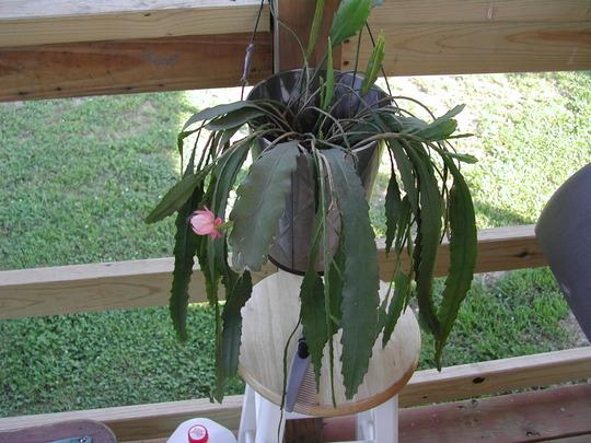 Orchid cactus?