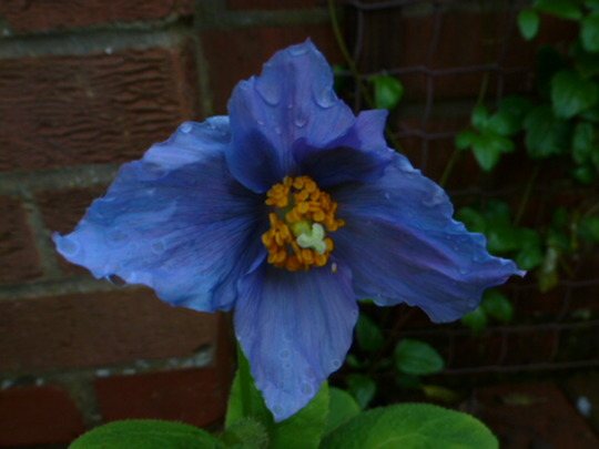 Meconopsis   ..... Blue Poppy ....