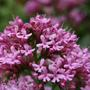 Centranthus? - grows like a weed all over the garden
