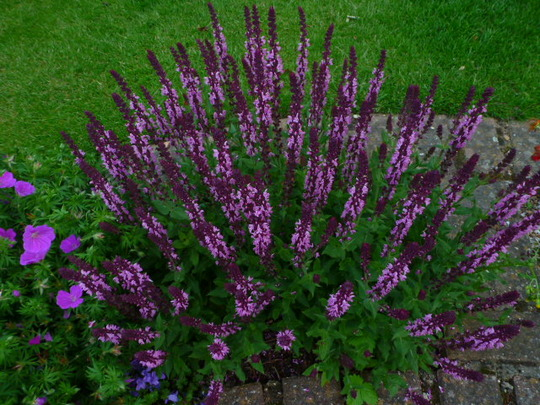 Salvia  ........Sensation 'Deep blue '
