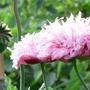 Rare and beautiful Poppy