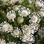 Oseospermum whirligig