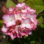 Hydrangea purple/white