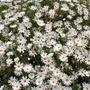 Daisy like flowers on very large shrub