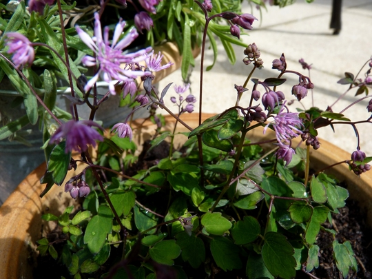 Thalictrum kiusianum (Thalictrum kiusianum)
