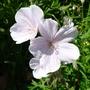 Geranium_kashmir_white_2012