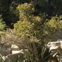 Giant Barbados Gooseberry (Pereskia aculeata) (Giant Barbados Gooseberry (Pereskia aculeata))
