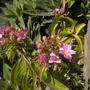 Barbados Gooseberry Flowers (Pereskia aculeata)  (Barbados Gooseberry Flowers (Pereskia aculeata))