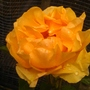 ABB FAB .NEW ROSE FROM CHESHIRE SHOW
