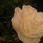 NEW FROME CESHIRE SHOW ICEBURGE SHRUB ROSE