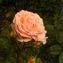 NEW ROSE AGAIN PEARL ABUNDANCE SHRUB .CHESHIRE SHOW ALL 3FOR A TENNER